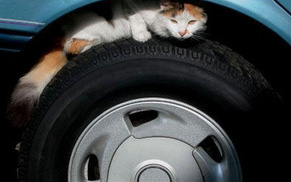Watch-for-animals-around-your-cars-and-warm-engines